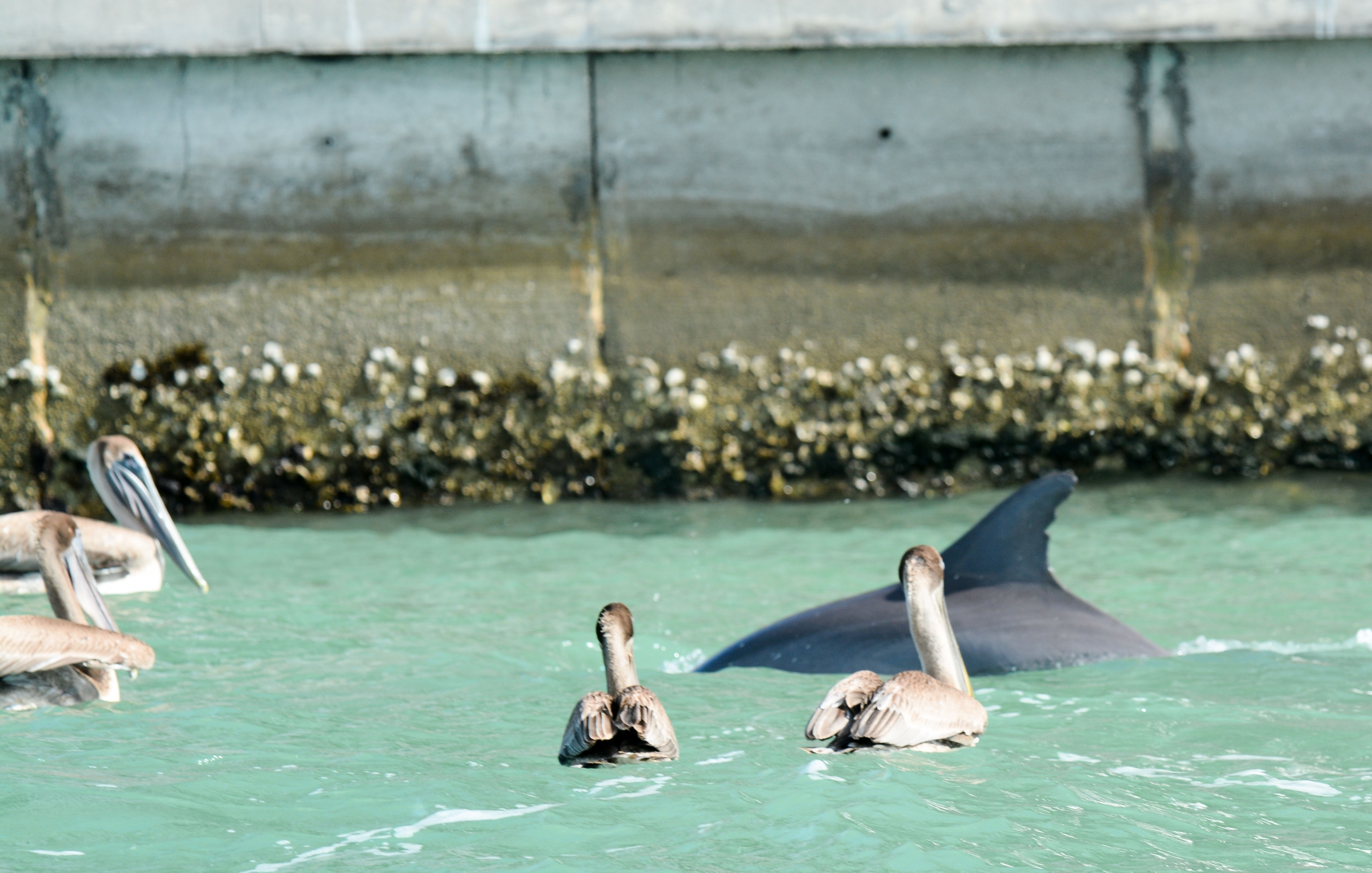 Dolphin and pelicans feed along sewall