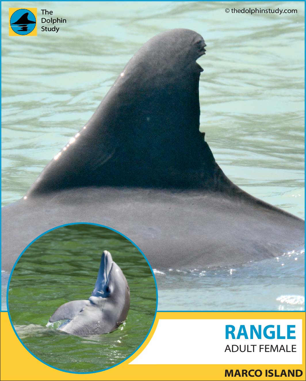 Rangle dorsal profile