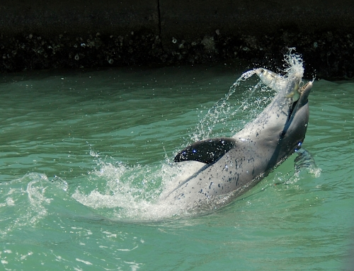 Dolphin foraging techniques around Marco Island
