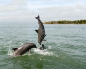 socializing dolphins leaping