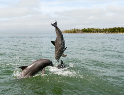 How Many Dolphins Live Around Marco Island and How Are They Distributed