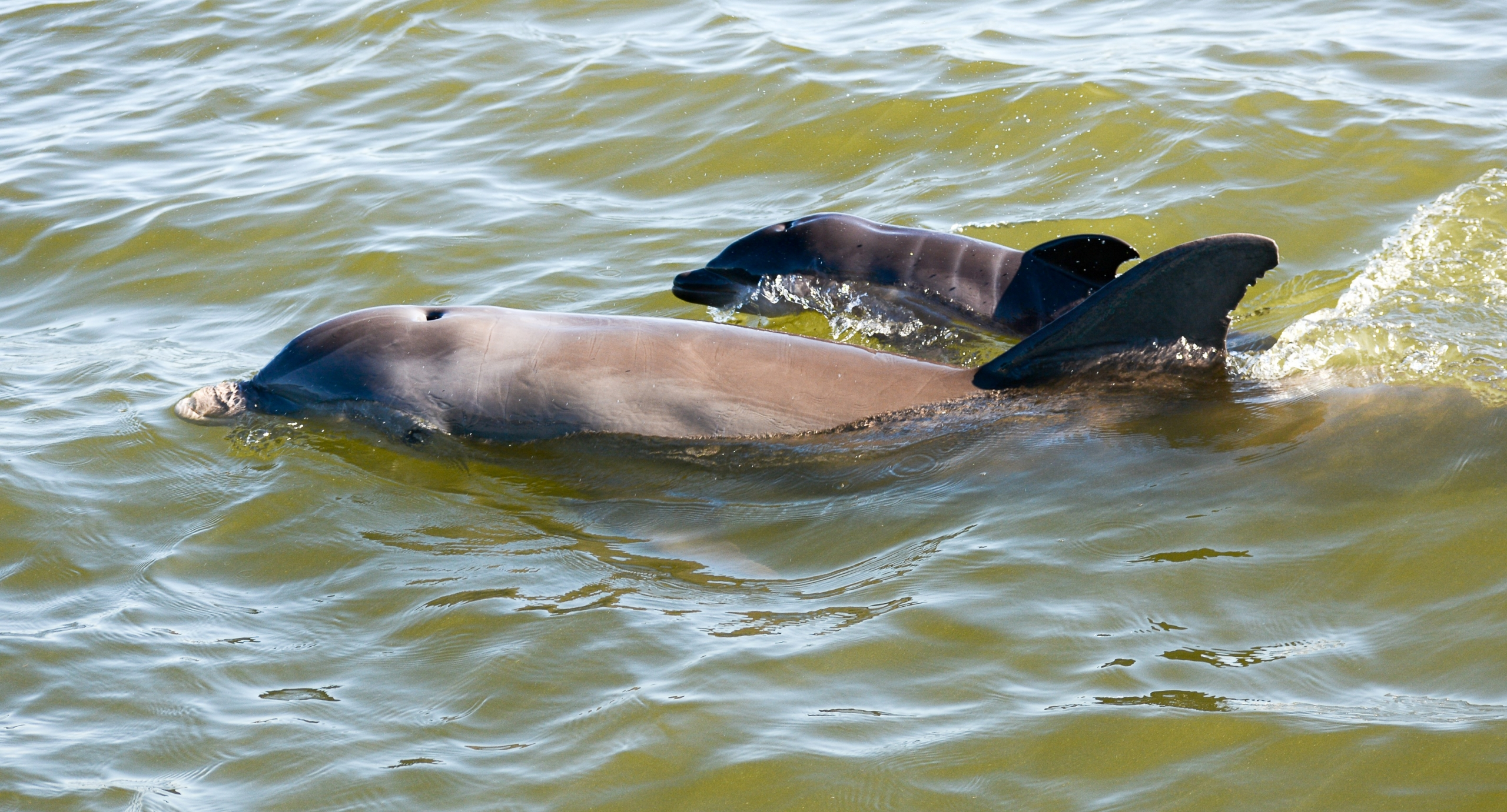 young dolphin calf with mom
