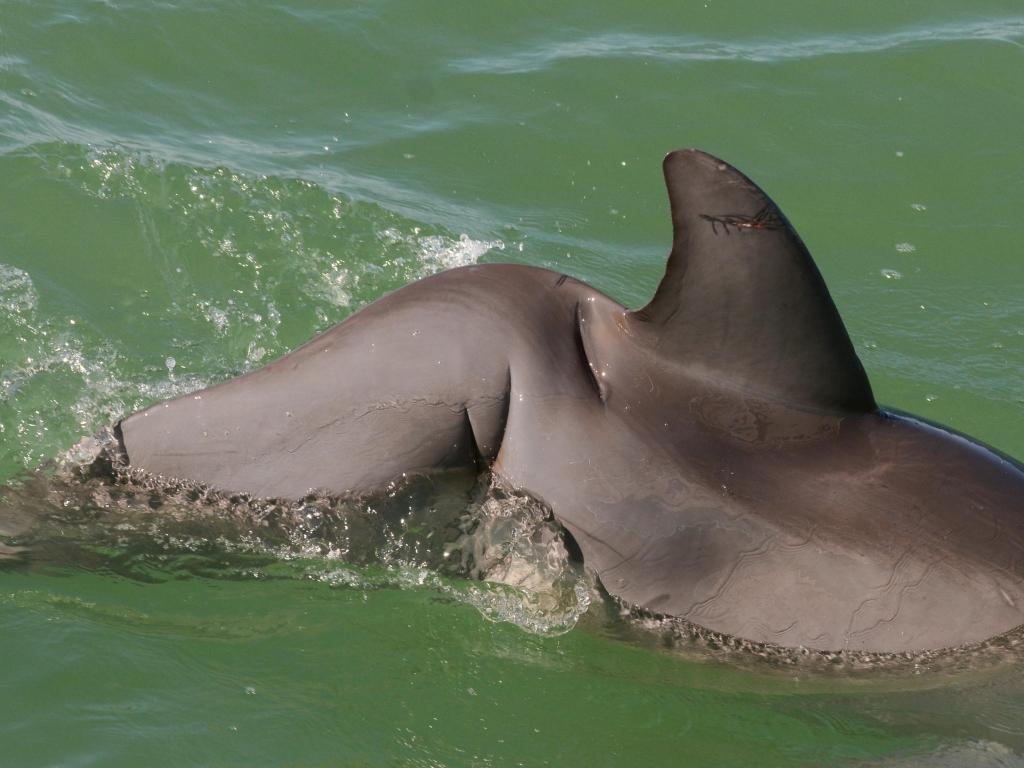 injured dolphin